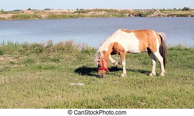 pony horse on pasture