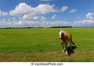 Pony in a Frysian Field