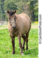 pony, in, a, grünes feld