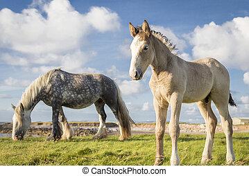 Pony of Troy
