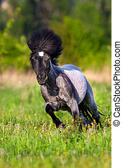 Pony run on field - Beautiful grey pony with long mane run...