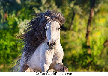 Pony stallion portrait in motion