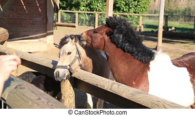 Ponys feeding