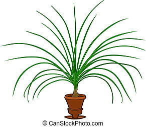 Ponytail Palm - Decorative houseplant, ponytail palm, with...