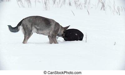 Pooch dog in snowey field standing near lost hat,...