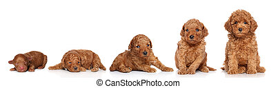 poodle., ミニチュア, 子犬, 成長する