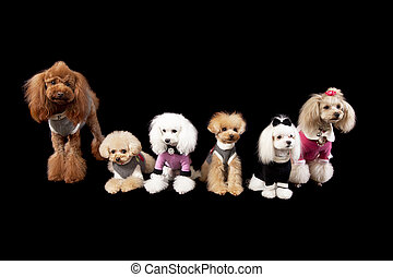 poodle all sorts - a groupe of poodles of different shapes...