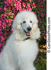 white standard poodle sitting in front of bright pink azalea