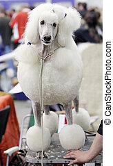 Poodle at a hairdressing saloon