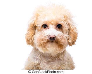 poodle, cão