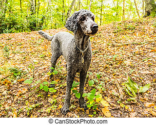 Poodle dog standing in the autumn forest