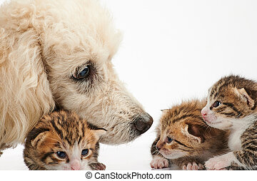 Poodle dog take care of small kitty
