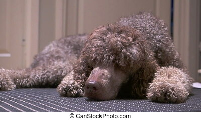 Poodle lying on the carpet - Brown standard poodle lying on...