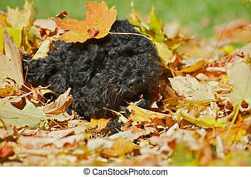 Poodle pup in autumn leaves.