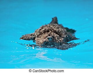 Poodle pup swimming. - Stock Photo: Closeup image of a cute...