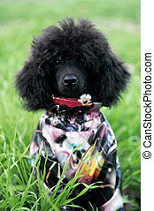 Poodle sitting on the grass in clothes