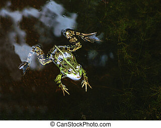 Close-up of a pool frog in a pond