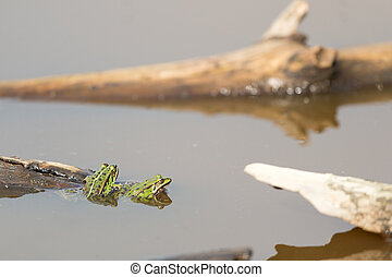 Pool frog in nature water
