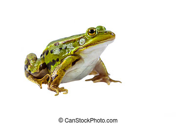 Pool frog male on white