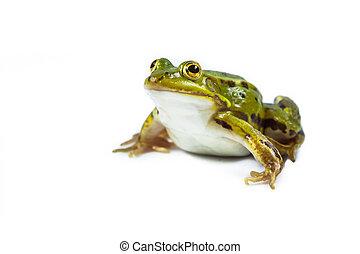 Pool frog on white