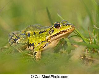 Pool frog (Pelophylax lessonae) in blurred grass field