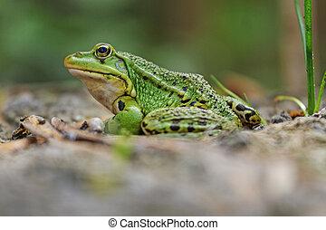 Pool frog portrait, amphibians, reptiles, cold-blooded lake shore