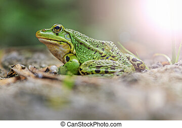 Pool frog portrait with sunny hotspot
