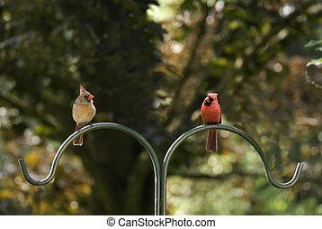 pool, mannelijke , vrouwlijk, kardinalen