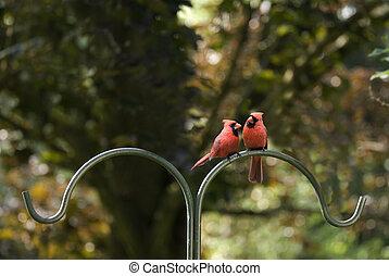pool, mannetjes, twee, kardinalen