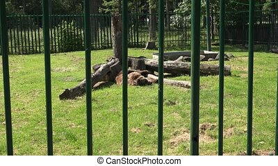 Poor animal brown bear Ursus arctos in zoological garden....