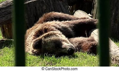Poor animal brown bear Ursus arctos sleeping in captivity...