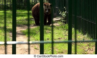 Poor animal brown bear walk in zoo cage on hot summer day. ...