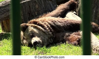 Poor brown bear lying on sunlight in captivity on hot day....