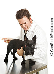 Poor Doggy Gets a Shot - Scotty dog looks unhappy as the...