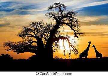 popisowy, afrykanin, zachód słońca, z, baobab, i, żyrafa