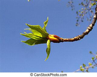 Poplar 1 - Poplar tree leaves in spring