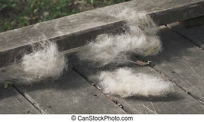 Poplar fluff lying on a wooden platform and fluttering in the wind