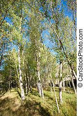 Poplar forest