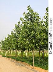 poplar in a nursery garden