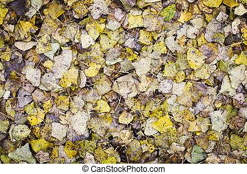 Poplar Leaf Background - Poplar leaves covering the ground...