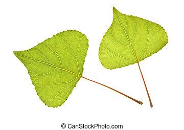 Poplar leaf on isolated - Poplar leaf isolated on the white