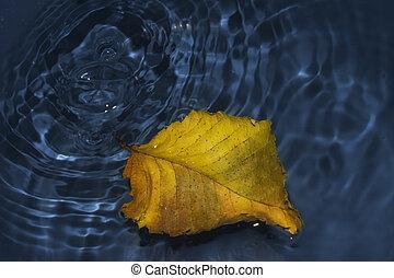 Poplar leaf on water