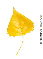 Poplar leaf - Autumn yellow orange poplar leaf isolated on...