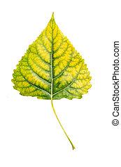 Poplar leaf - Autumn yellow green poplar leaf isolated on...