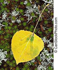 Poplar Leaf - Yellow poplar leaf laying on moss in autumn