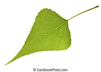 Poplar leaf isolated on white