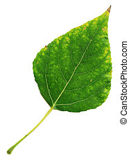 poplar leaf, touched by the autumn yellow, isolated on a...
