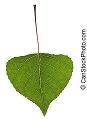 Poplar leaf isolated on the white