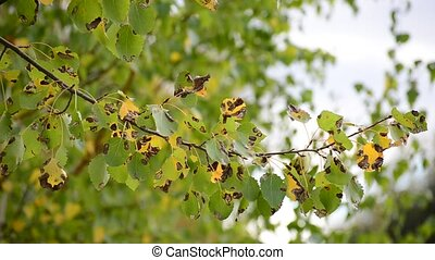 poplar leaves in the autumn wind