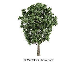 Poplar or Populus x canescens - Poplar or latin Populus x...